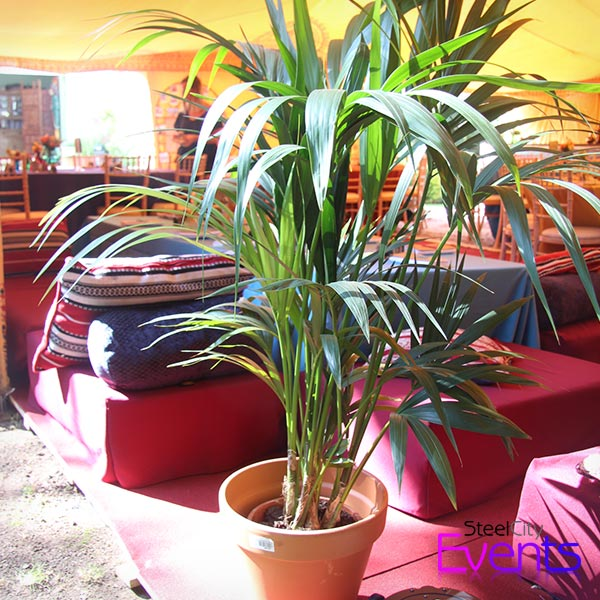 Potted Palms Trees (Living)